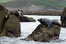 Seals on the Eastern Isles .